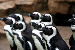Funny penguins looking royalty free stock photos