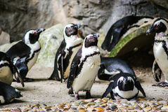 Funny Penguins in Singapore Zoo. One of them lies Stock Photos