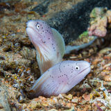 Funny peppercorn Moray Eels look out from a hard coral pinnacle. Royalty Free Stock Photo