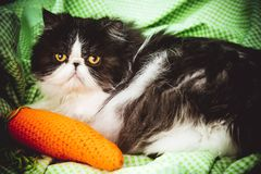 Funny Persian cat with angry face Stock Photos