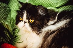 Funny Persian cat with angry face Stock Image