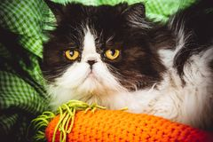 Funny Persian cat with angry face Royalty Free Stock Photos