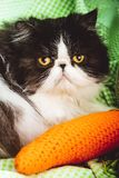 Funny Persian cat with angry face Stock Photo