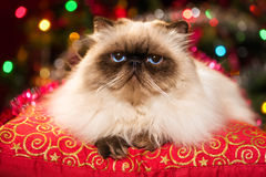Funny persian cat lying on a Christmas cushion with bokeh. Funny persian colourpoint cat is lying on a red cushion in front of a Christmas tree with colourful royalty free stock photos