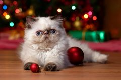 Funny persian kitten is playing with Christmas balls stock image