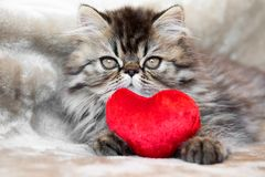 Funny Persian kitten cat with red heart stock images