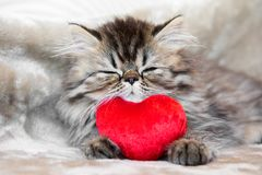 Funny Persian kitten cat is sleeping with red heart royalty free stock image