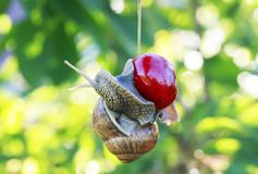 Funny pest of garden snail hanging on ripe red berry cherries in Stock Photo