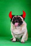 Funny Pet dog. In front of green background Stock Photos