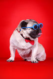 Funny pet dog. In front of red background Stock Photo