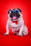 Funny pet dog. In front of red background Royalty Free Stock Images