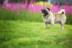 Funny pet dog. A Funny pet dog,outdoors Royalty Free Stock Photos