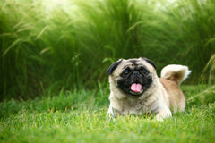 Funny pet dog. A Funny pet dog,outdoors Royalty Free Stock Photo