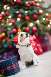Funny pet dog wearing santa hat sitting in christmas decoration royalty free stock photo