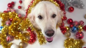 Funny pets - big friendly dog posing in studio with christmas decorations on a white background.  stock video footage