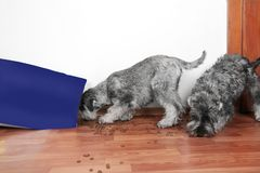 Funny photo of bad naughty schnauzer puppies. Dogs opened a bag of dry dog food  steal and eating granules. Dogs are home alone royalty free stock image