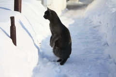 Funny photo of a cat. Gray cat standing on hind legs in the winter Stock Photos