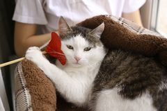 Funny photo of cat in pet bed with paper heart royalty free stock images