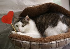 Funny photo of cat in pet bed with paper heart stock photography