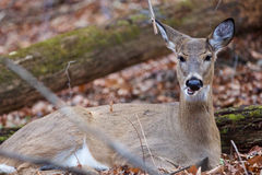 Funny photo of the deer eating something Stock Photography