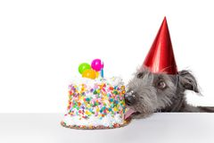 Funny Birthday Dog Eating Cake. Funny photo of a dog wearing a party hat while licking the frosting off of a birthday cake Stock Images