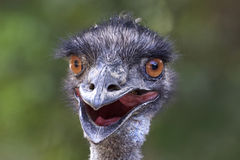 Funny photo of emu close up. Funny photo of an Australian emu close up with smooth green background Stock Photo