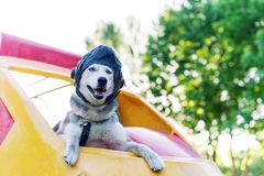 Funny photo of the huskies dog in a pilot`s helmet. royalty free stock photo
