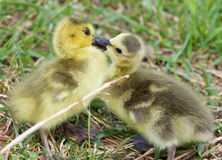 Funny photo of kissing young cute chicks of the Canada geese Royalty Free Stock Photos