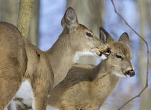 Funny photo of a pair of the cute wild deers licking each other Royalty Free Stock Photography