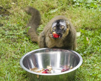 Funny photo of red-fronted lemur, Eulemur fulvus rufus, eating sweet bell pepper from metal bowl. Close-up portrait. Selective focus, shallow DOF Royalty Free Stock Photography