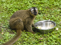 Funny photo of red-fronted lemur, Eulemur fulvus rufus, sitting near metal bowl with fruit and vegetables. Close-up portrait, selective focus, shallow DOF Stock Photography