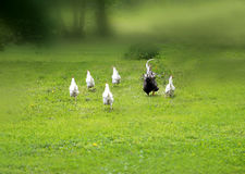 Funny photo of a runaway chicken and a rooster stock photography