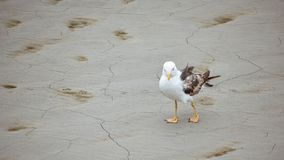 Funny photo of seagull walking on the dry land of the beach stock photo