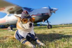Funny photo of the Shiba Inu dog. In a pilot suit at the airport stock photography