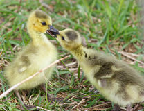 Funny photo of two cute young chicks of the Canada geese in love Stock Images