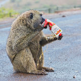 Funny Photograph Of Olive, or Savanna, Baboon Biting Juice Carton Royalty Free Stock Images