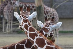 Two giraffes looking in the same direction Stock Images