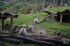 Group of hamadryas baboons with reddish-pink bottoms in Auckland zoo stock images