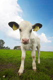 Funny picture of a baby cow Royalty Free Stock Photos