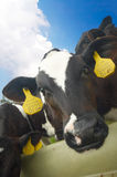 Funny picture of a baby cow Stock Photos