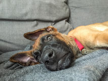 Funny picture of Belgian shepherd, Malinois, puppy resting inside. Looking sleepy Stock Images