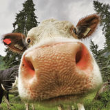 Funny picture of a cow closeup. A funny picture of a cow closeup to the camera as a wide angle shoot. Image taken with a GoPro action cam with high compression royalty free stock image