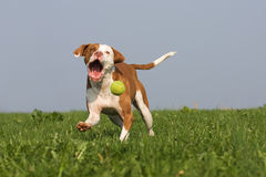 Funny picture of a dog in action. Picture of a funny looking Podenco mix running after a ball Stock Image
