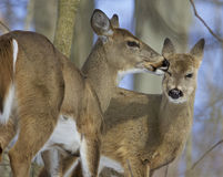 Funny picture with a pair of the cute wild deers licking each other Stock Image