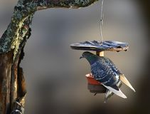 A funny picture of tough pigeon trying to stay on birdfeeder for small birds royalty free stock photo