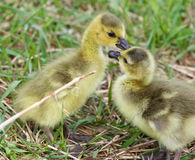 Funny picture with two young chicks of the Canada geese in love Royalty Free Stock Photo