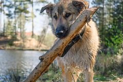 Funny puppy Golden Retriever frolic with a stick in his teeth stock image
