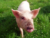 Funny pig. On green grass Stock Photos