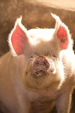 Funny pig Royalty Free Stock Photos
