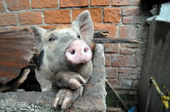 Funny pig Stock Photo
